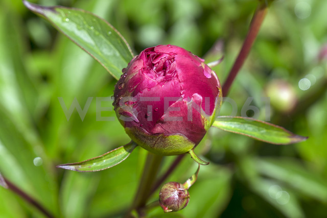 Dewdrops on bud of pink peony, Paeonia officinalis - WEF000116