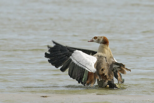 Germany, Schleswig-Holstein, North Frisia, Egyptian goose, Alopochen aegyptiacus, spreading wings at waterside - HACF000127