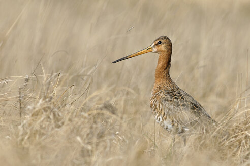 Germany, Schleswig-Holstein, North Frisia, black-tailed godwit, Limosa limosa, standing in grass - HACF000129
