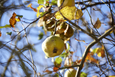 Quince, Cydonia oblonga, hanging on tree - SRSF000493