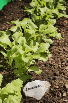 Red radish on vegetable patch - ONF000574