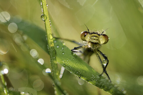Red-eyed damselfly, Erythromma najas, sitting on wet grass - MJOF000403