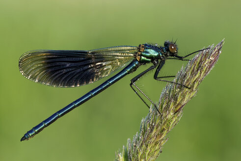 Banded demoiselle, Calopteryx splendens, sitting on grass in front of green background - MJOF000406