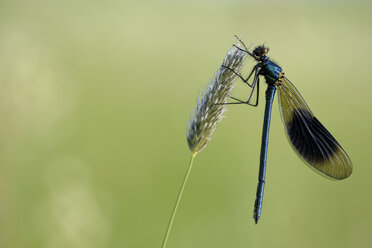 Banded demoiselle, Calopteryx splendens, hanging at grass in front of green background - MJOF000408