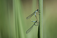 Two common blue damselflies, Enallagma cyathigerum, hanging at blade of grass in front of green background - MJOF000411