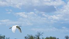 France, Provence Alpes Cote d'Azur, Camargue, flying little egret, Egretta garzetta - JBF000122