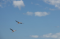 France, Provence Alpes Cote d'Azur, Camargue, two flying flamingos, Phoenicopterus roseus - JBF000123