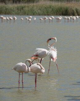 France, Provence Alpes Cote d'Azur, Camargue, interacting flamingos, Phoenicopterus roseus - JBF000129