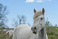 France, Provence Alpes Cote d'Azur, Camargue, Camargue horse eating grass - JBF000133