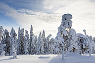 Scandinavia, Finland, Rovaniemi, Forest, Trees in wintertime against the sun - SR000536