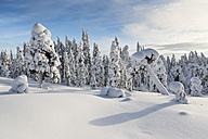 Scandinavia, Finland, Rovaniemi, Forest, Trees in wintertime against the sun - SR000537