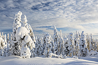 Scandinavia, Finland, Rovaniemi, Trees in wintertime - SR000544