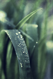 Dew drops on leaves, close-up - DWI000080
