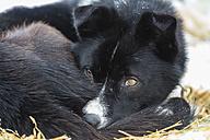 Finland, Rovaniemi, portrait of lying husky, partial view - SR000557