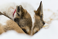 Finland, Rovaniemi, portrait of lying husky with covered face, partial view - SR000559