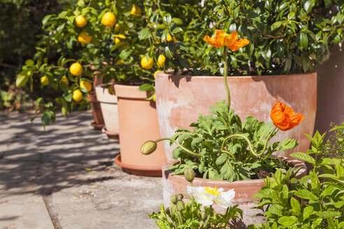 Citrus, poppies, Papaver, and common jasmine, Jasminum officinale, planted in clay pots standing in sunny garden - WDF002501