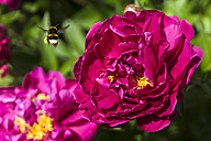 Germany, Hesse, Pink peony, Paeonia, and Buff-tailed bumblebee, Bombus terrestris, flying - WEF000128