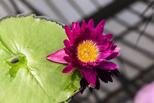 UK, London, Kew, Royal Botanic Gardens, Kew Gardens, pink water lily and lily pad - WEF000134