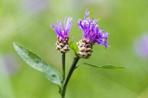 Two buds of violet cornflower, Centaurea cyanus, in front of green background - SRF000564