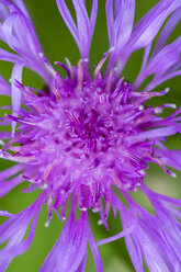 Violet blossom of cornflower, Centaurea cyanus, partial view - SRF000565