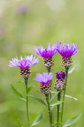 Five blossoms of violet cornflower, Centaurea cyanus, in front of green background - SRF000570