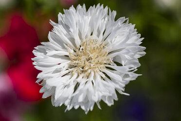 Blossom of white cornflower, Centaurea cyanus - SRF000574