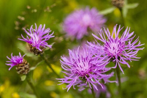 Five blossoms of violet cornflower, Centaurea cyanus, in front of green background - SRF000578