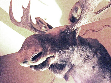stuffed moose head, Maine, USA - BMA000009