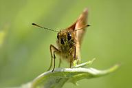 Large skipper, Ochlodes sylvanus, on leaf - MJOF000455