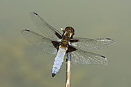 Broad-bodied chaser, Libellula depressa, on twig - MJOF000442