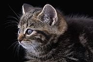 Portrait of tabby cat in front of black background - MJOF000440