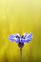 Bluebottle, Centaurea cyanus, in front of field - GOF000004