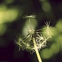Germany, North Rhine-Westphalia, Close up of common dandelion, Taraxacum sect. Ruderalia - HOHF000847