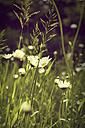 Germany, North Rhine-Westphalia, Marguerites, Leucanthemum, on meadow - HOH000858