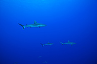 Oceania, Micronesia, Yap, Grey reef sharks, Carcharhinus amblyrhynchos, in blue water - FGF000094