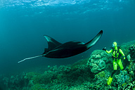 Oceania, Micronesia, Yap, Diver with reef manta ray, Manta alfredi - FGF000063