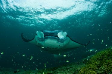 Oceania, Micronesia, Yap, Reef manta ray, Manta alfredi - FGF000079