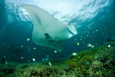 Oceania, Micronesia, Yap, Reef manta ray, Manta alfredi - FGF000080