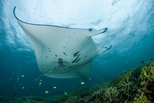 Oceania, Micronesia, Yap, Reef manta ray, Manta alfredi - FGF000088