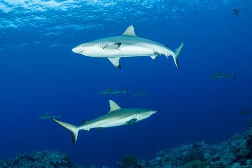Oceania, Micronesia, Yap, Grey reef sharks, Carcharhinus amblyrhynchos, in blue water - FGF000092