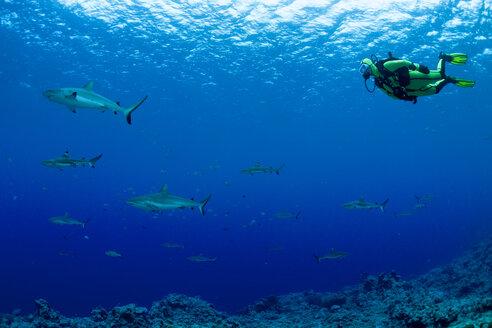 Oceania, Micronesia, Yap, Diver with grey reef sharks, Carcharhinus amblyrhynchos - FG000093