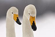 Germany, Schleswig-Holstein, Whooper swans, Cygnus cygnus, Portrait - HAC000135