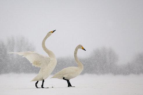 Germany, Schleswig-Holstein, Whooper swans, Cygnus cygnus - HAC000140