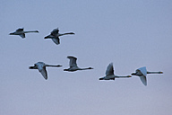 Germany, Schleswig-Holstein, Whooper swans, Cygnus cygnus, and Mute swans, Cygnus olor, flying - HAC000142
