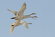 Germany, Schleswig-Holstein, Whooper swans, Cygnus cygnus, flying - HACF000144