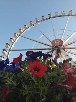 Ferris wheel in HafenCity in the evening light, flowers in foreground, HafenCity, Hamburg, Germany - SEF000702