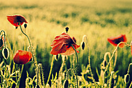Germany, Bavaria, Poppies, Papaver rhoeas, in the morning light - FCF000244