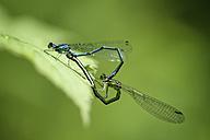 Azure damselflies in oviposition, close-up - MJOF000464