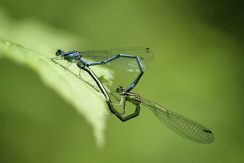 Azure damselflies in oviposition, close-up - MJOF000464