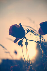 Red poppies, Papaver rhoeas, by twilight - HOH000867